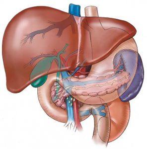 ficatul-anatomia-ficatului
